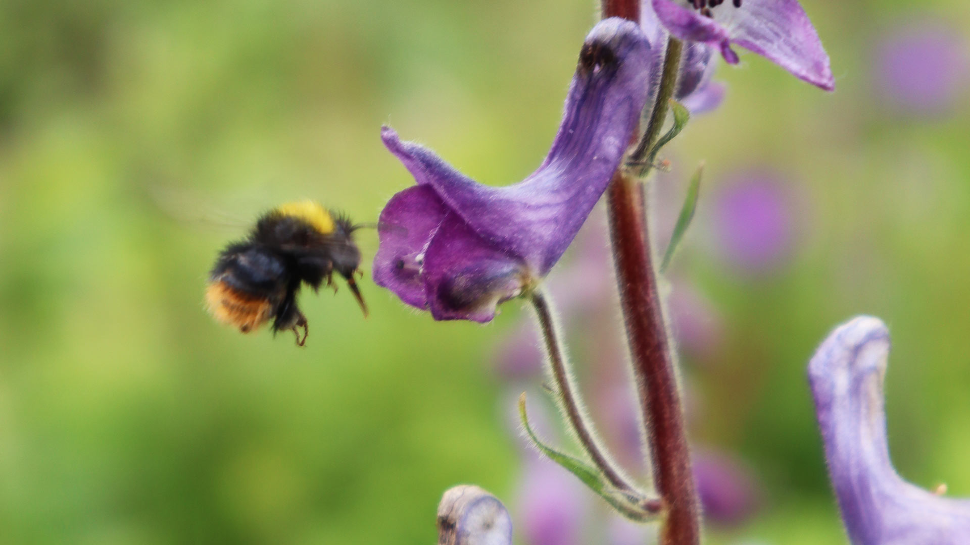 An early bumblebee on a wolf's-bane plant.