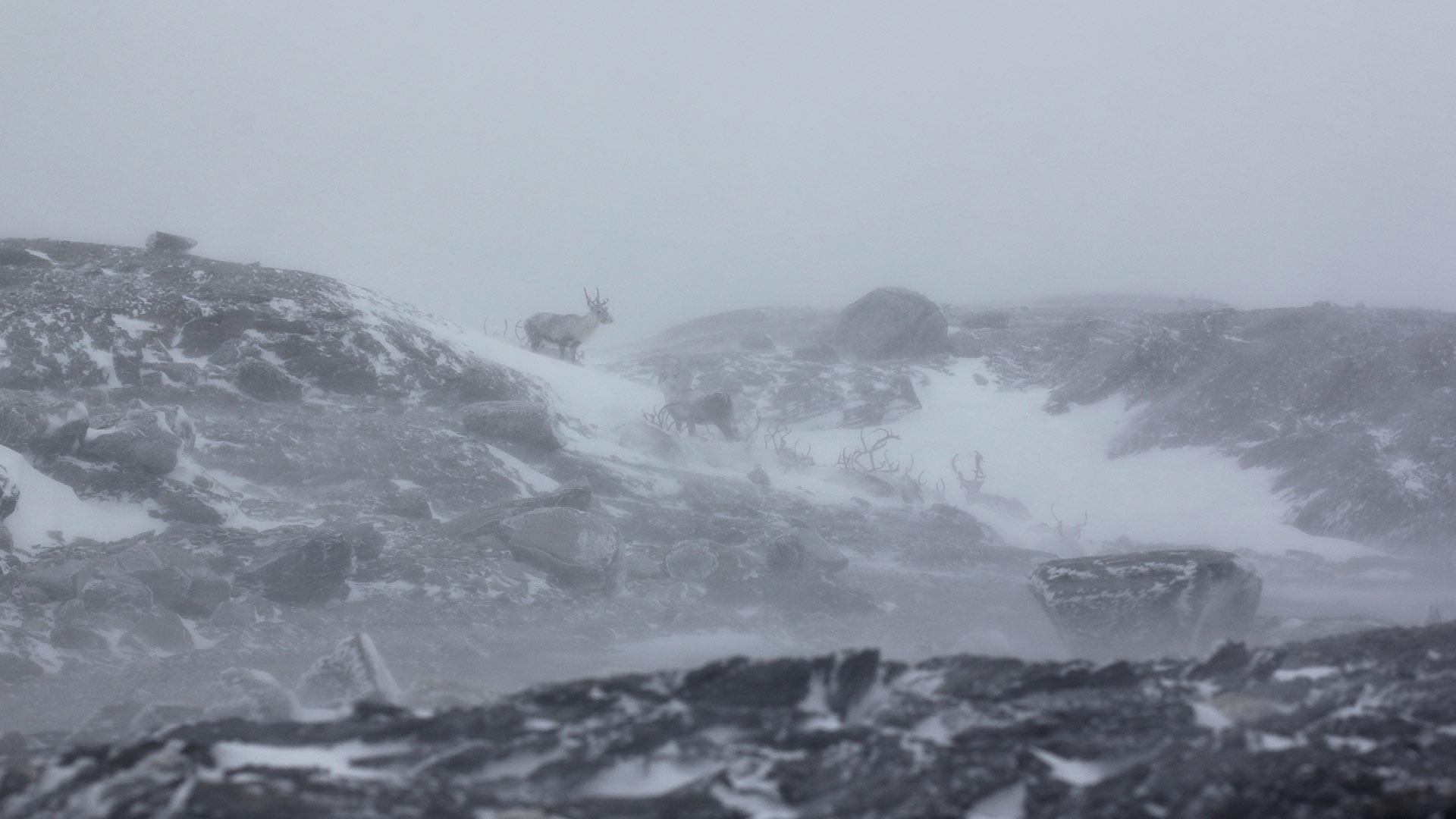 Reinsdyr-i-svøfug—Knut-Fredrik-Øi