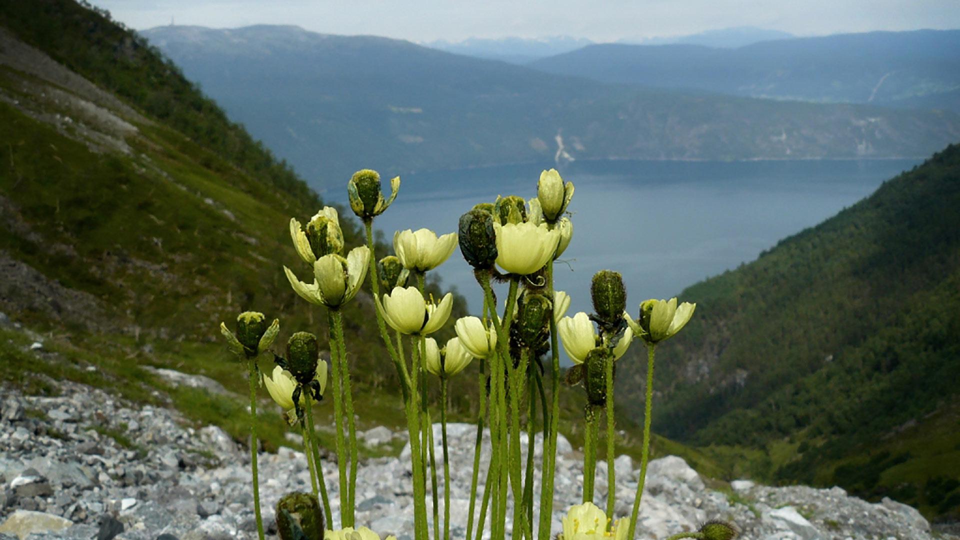 Arctic poppy.