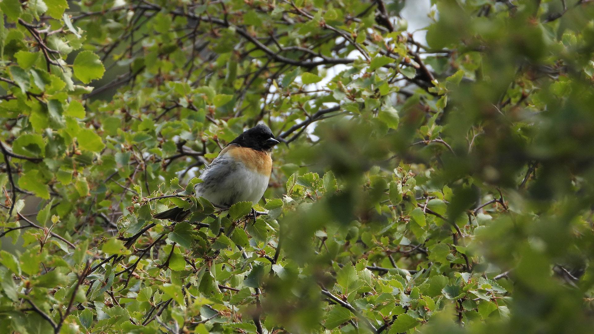 Bird in birch tree.