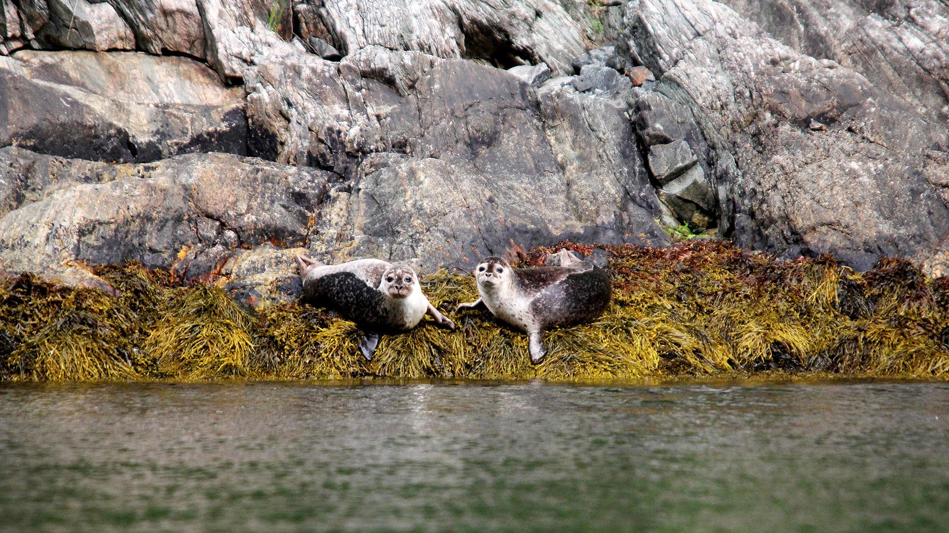 Two harbor seals.