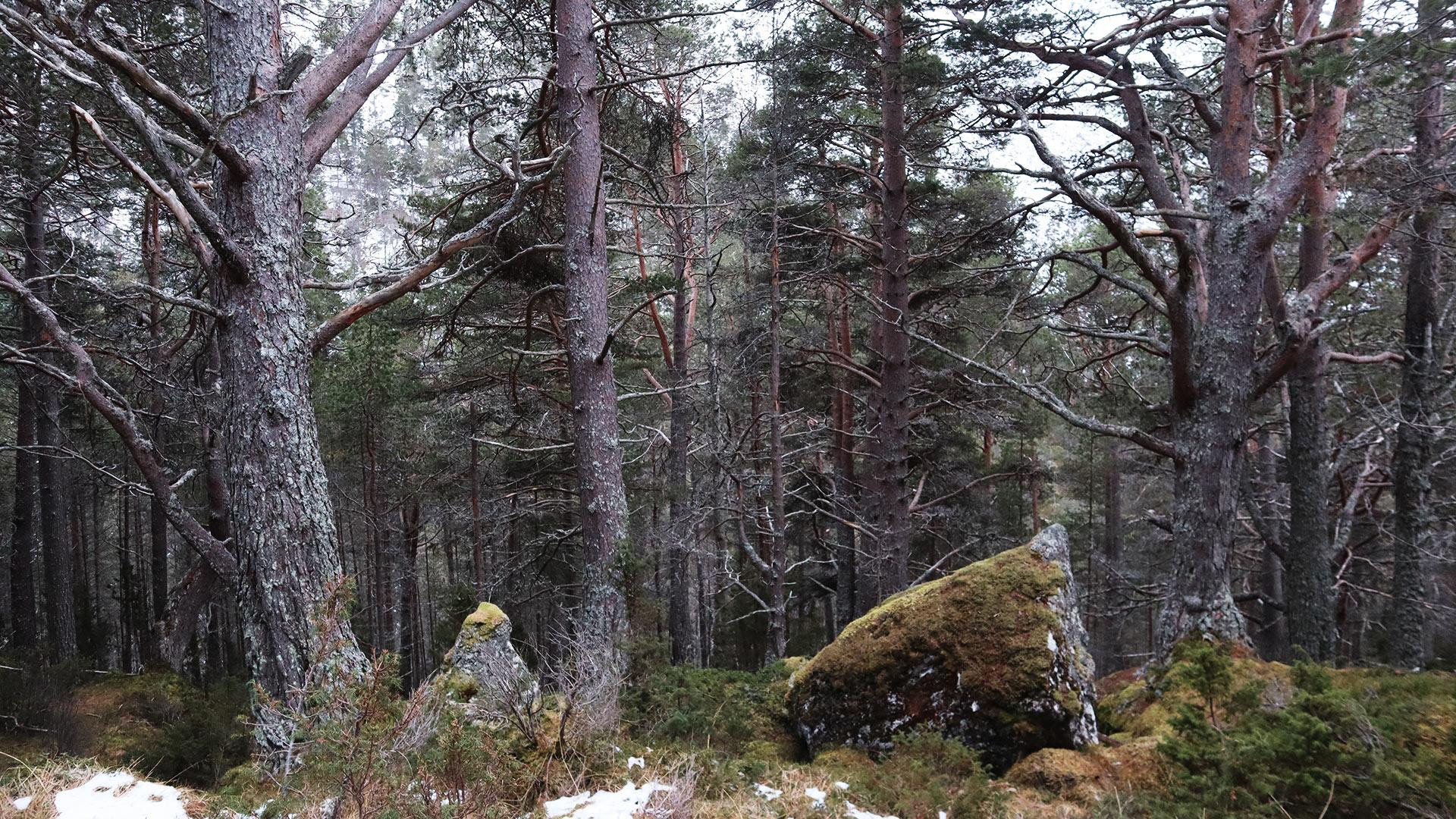 Wald, Kiefern.